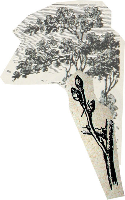 A tree and maple brach sketched in a 19th century fashion